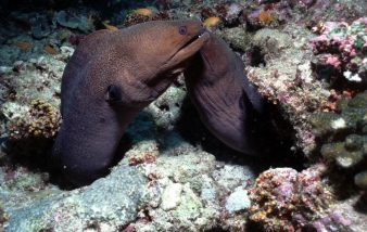 Murène, un poisson à l'allure bien particulière